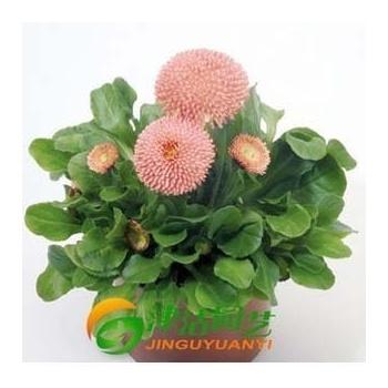 津沽园艺 进口花卉 德国benary花卉种子 雏菊 塔苏系列 粉色