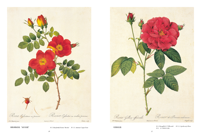 玫瑰插画图片素材