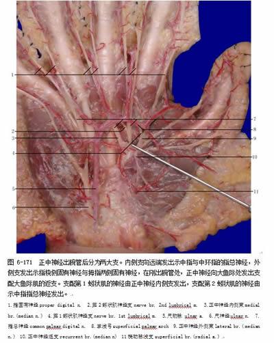 一,动静脉结构  二,神经显微结构  三,浅筋膜内动脉血管构筑  四